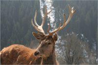 Wildpark Aurach Auge im Auge mit eine Hirsch